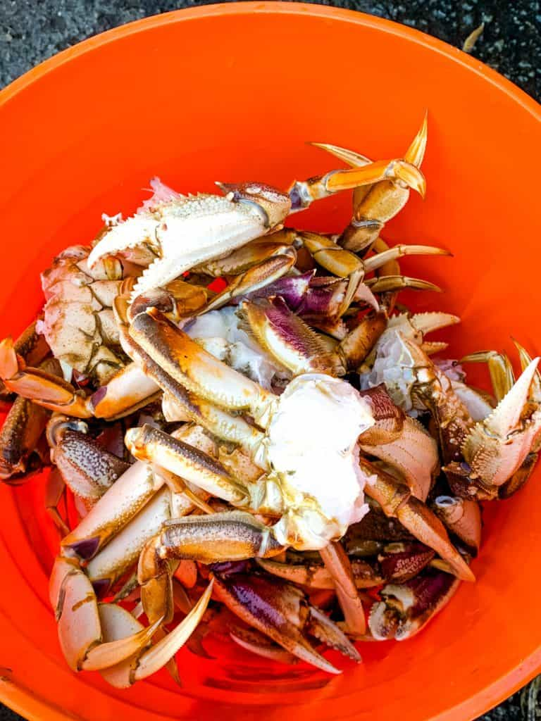 dungeness crab in a bucket